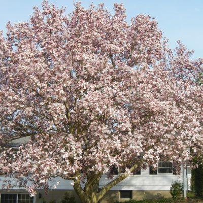 Magnolia-Tree-pic.jpg